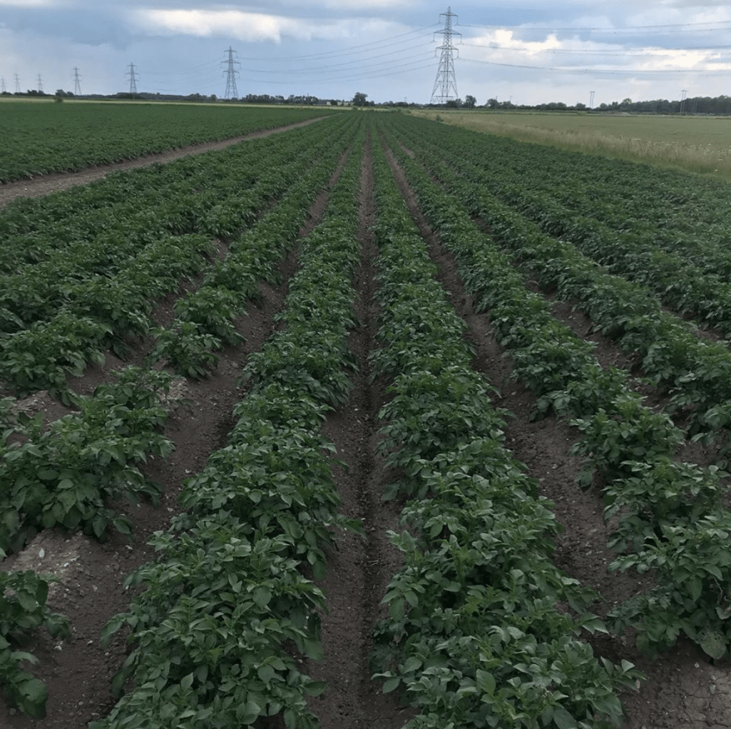 A Field Of Potatoes