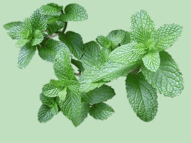 The Fresh Soft Herb Mint